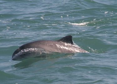 Porpoise seen on Venture Jet wildlife tour St Davids