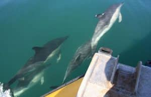 Common dolphins bow riding Venture Jet boat on offshore jet boat trip