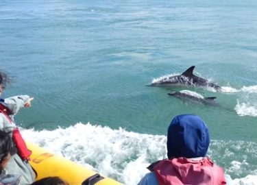 Dolphins alongside Venture Jet boat on wildlife trip St Davids