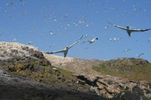 Gannets flying off Grassholm island, Pembrokeshire, UK