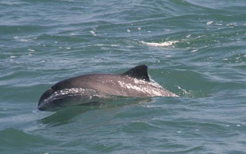 Porpoise seen on Venture Jet wildlife tour St Davids