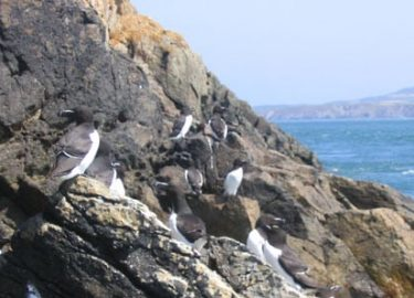 Razorbills on Ramsey Island rocks in sun on Venture Jet wildlife tour