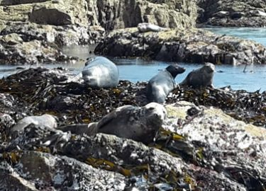 Seals sunbathing on Ramsey Island seen on Venture Jet boat trip