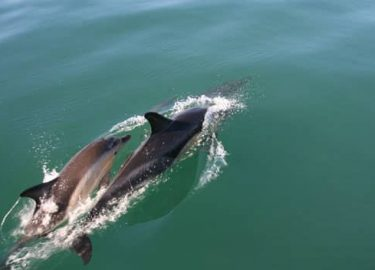 Common dolphins come close to Venture Jet boat on offshore jet boat trip
