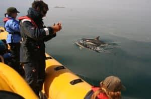 Common dolphins alongside Venture Jet boat off Grassholm Island Pembrokeshire