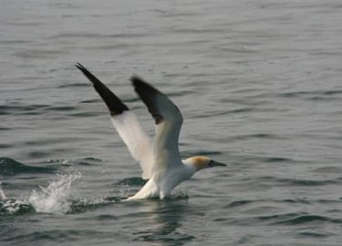 Gannet close-up from Venture Jet boat on Grassholm trip