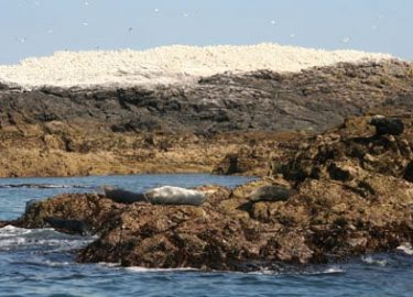 Grassholm Island Gannets and seals on Venture Jet offshore trip Pembrokeshire summer