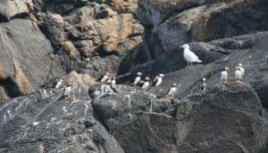 Puffins seen on bird watching tour with Venture Jet
