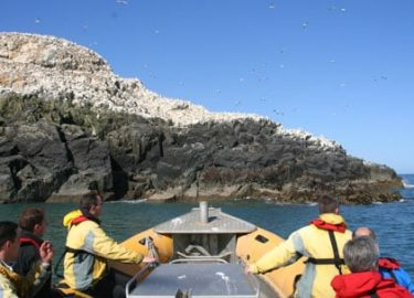 Gannets on Grassholm Island on Venture Jet dolphin watching trip Pembrokeshire
