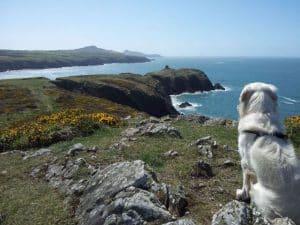 Venture Jet golden retriever on Pembrokeshire coast path